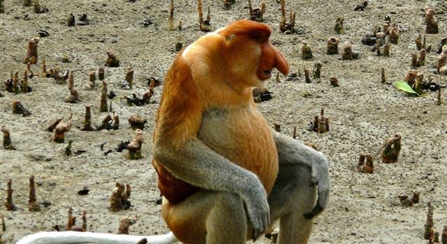 Naturaleza Pregunta Trivia: ¿Dónde habita el mono narizón?
