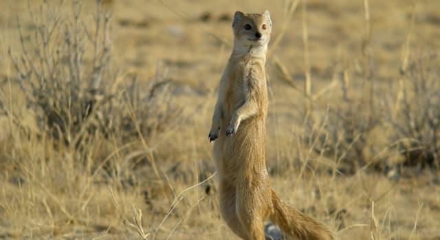 Naturaleza Pregunta Trivia: Si un mangosta pelea contra una cobra ¿quién gana normalmente?