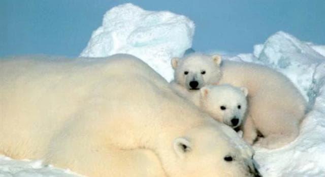 Naturaleza Trivia: ¿Por qué los osos polares no cazan a los pingüinos?