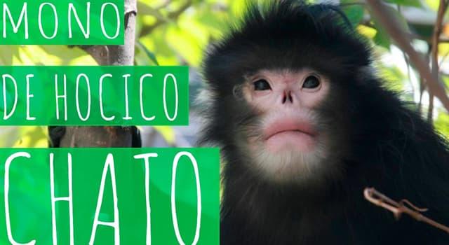 Naturaleza Trivia: ¿En cuál de estos países habita al mono de hocico chato?