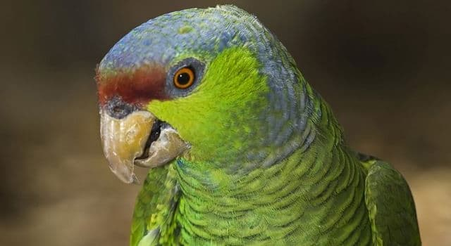 Nature Trivia Question: Which country is the Lilac-crowned parrot (Amazona finschi) indigenous to?