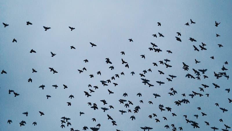 Naturaleza Pregunta Trivia: ¿Cuál de las siguientes aves no puede volar?