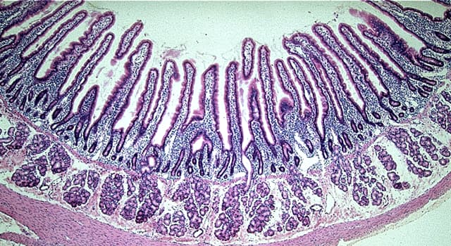 Nature Trivia Question: Where in the human body are the 'Brunner's glands' located?