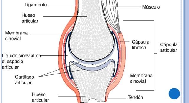 Сiencia Pregunta Trivia: ¿Cuál de estas articulaciones del cuerpo humano presenta mayor movilidad?