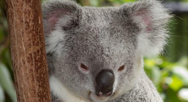 Сiencia Pregunta Trivia: ¿Cuál de éstas  enfermedades  está azotando a los Koalas?