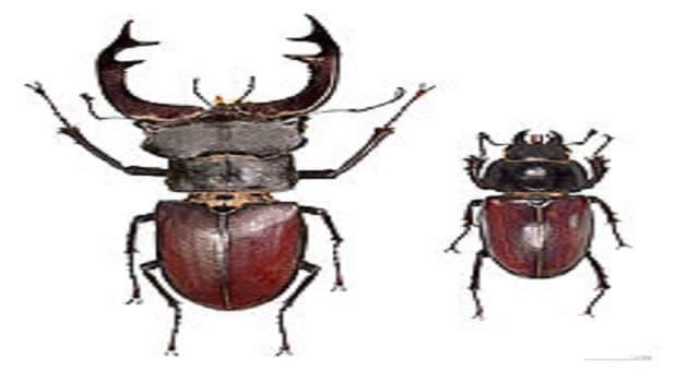 Naturaleza Pregunta Trivia: ¿Dónde habita el Lacanus cervus o escarabajo ciervo?
