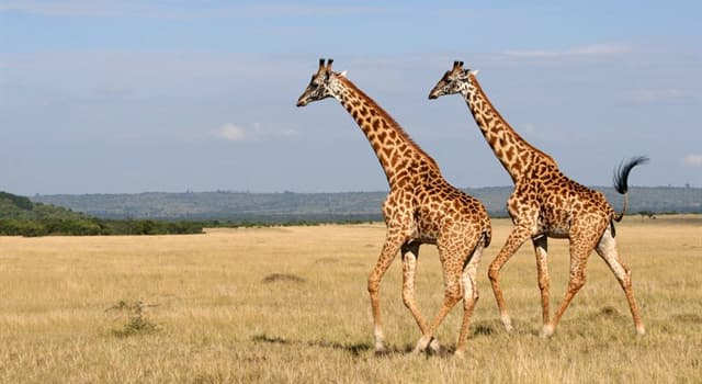 Science Trivia Question: How many chambers has the stomach of a giraffe?