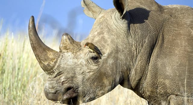 Nature Trivia Question: How many toes does a rhinoceros have on each foot?