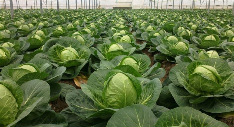 Культура Вопрос: Какой из этих овощей не является сортом капусты огородной?