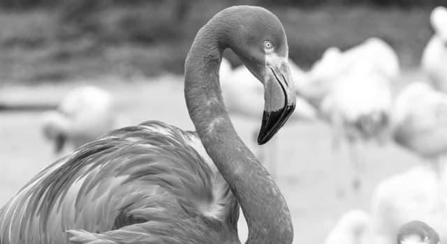Natur Wissensfrage: Warum sind Flamingos rosa?