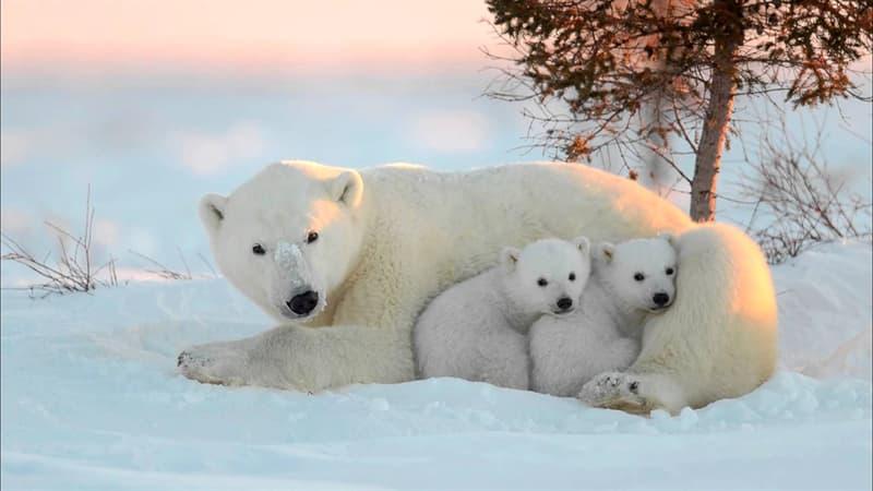 Природа Вопрос: Почему не стоит есть печень белого медведя?