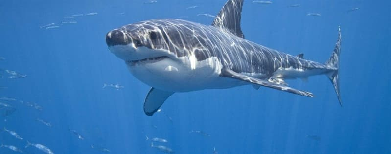 Природа Вопрос: Правда ли, что акулы стараются избегать встречи с дельфинами?