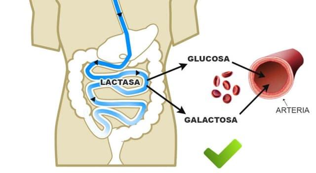 Сiencia Pregunta Trivia: ¿Qué es la lactasa?