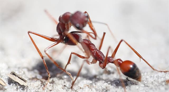 Nature Trivia Question: What is the most dangerous ant in the world?