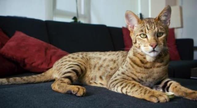 Naturaleza Pregunta Trivia: ¿Cuál es el gato doméstico más caro del mundo?