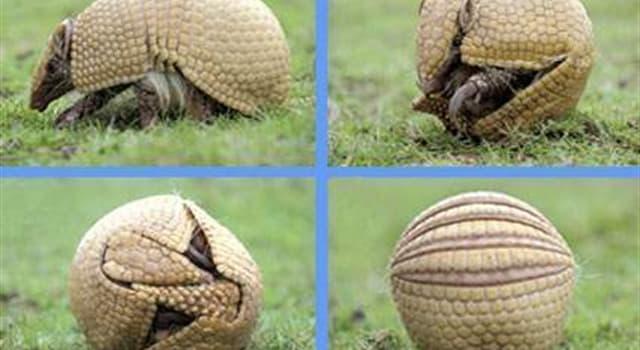 Naturaleza Pregunta Trivia: ¿Cuál es la única especie de armadillo que existe en los Estados Unidos de América?