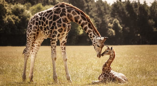 Nature Trivia Question: How tall is a baby Giraffe at birth?