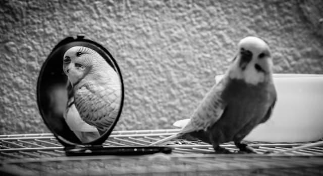 Природа Вопрос: Какая птица может узнать своё отражение в зеркале?