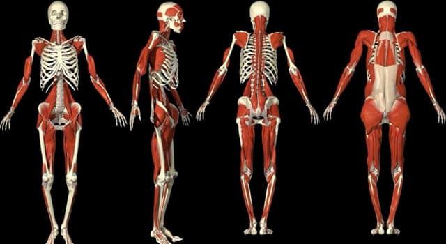 Наука Вопрос: Какой орган является самым большим внутренним органом человека?