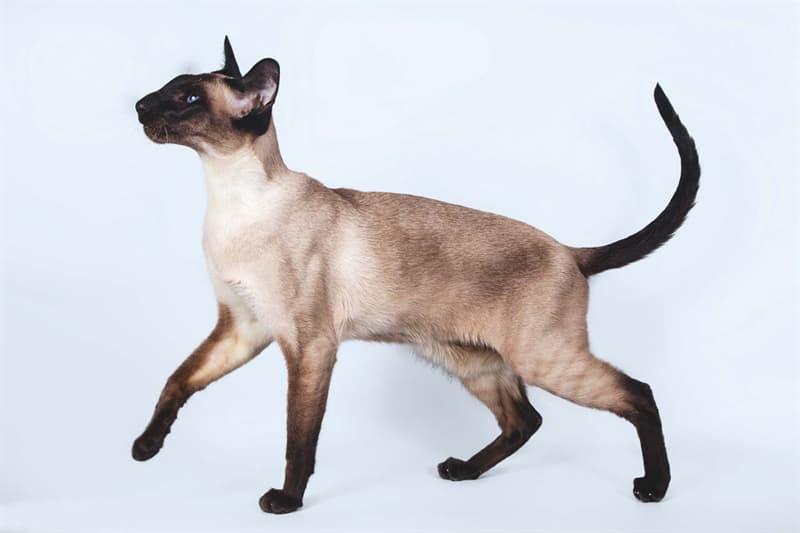 Природа Вопрос: Кошка какой породы изображена на фото?