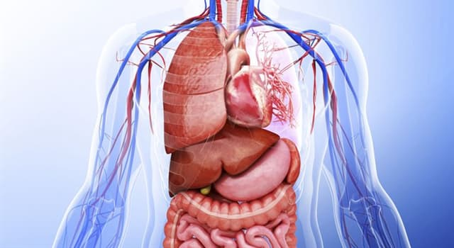 Science Trivia Question: The lingula is a part of which organ?