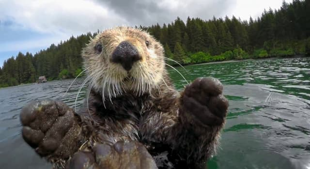 Nature Trivia Question: What are female otters called?