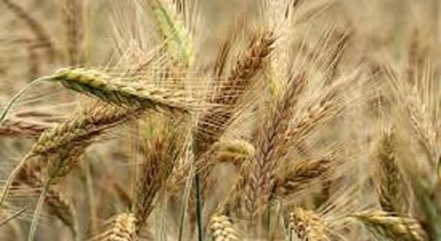 """Society Trivia Question: What is a """"barleycorn"""" used to measure?"""