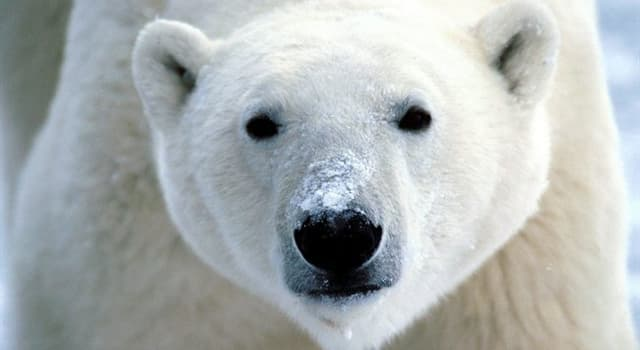 Society Trivia Question: What town claims to be the polar bear capital of the world?