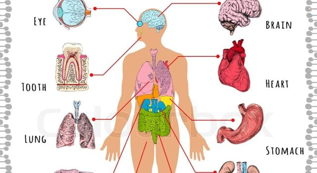 Science Trivia Question: Which part of the human body is related with ''gyri'' and ''sulci''?