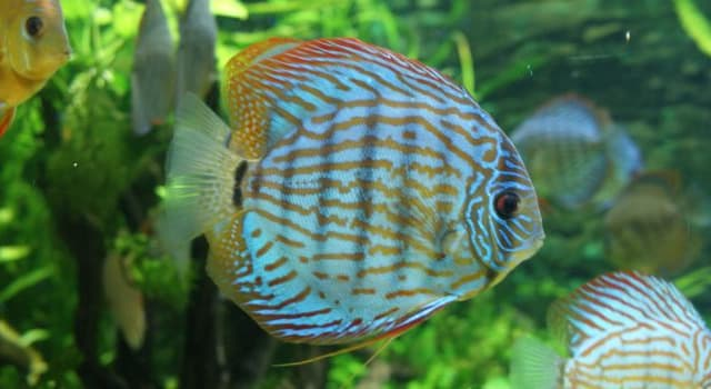 Naturaleza Trivia: ¿Cuál es el nombre del pez de la imagen?