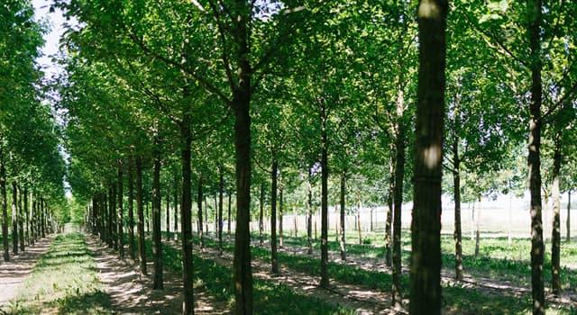 Природа Вопрос: Какое дерево является самым быстрорастущим в мире?