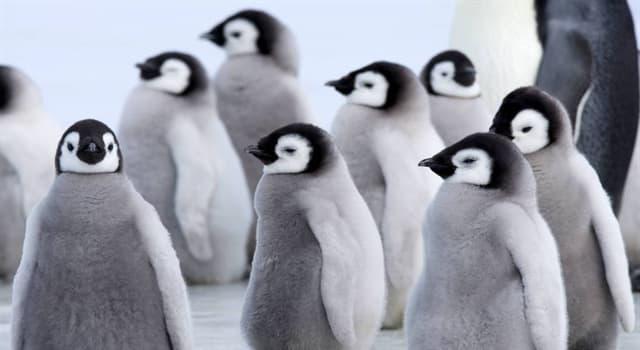 Природа Вопрос: Какой вид пингвинов является самым крупным и тяжёлым из современных видов семейства пингвиновых?