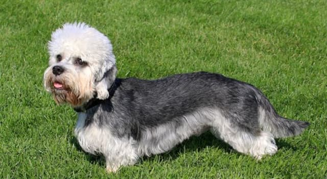 """Culture Trivia Question: The """"Dandie Dinmont"""" is a breed of terrier named after a character in which Scottish novel?"""