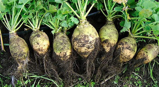 Nature Trivia Question: Which of these is a root vegetable commonly grown in temperate climates worldwide?