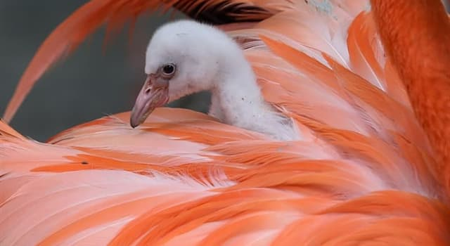 Natur Wissensfrage: Woraus bauen Flamingos ihre Nester?