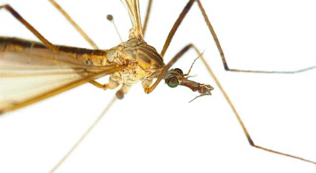 Nature Trivia Question: Except blood, what do mosquitoes feed on?