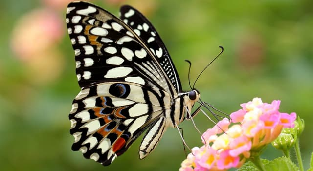 Nature Trivia Question: Which of these is another name for butterflies and moths?
