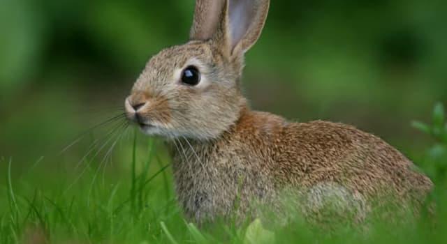 Natur Wissensfrage: Warum haben Hasen so lange Ohren?