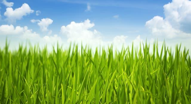 Natur Wissensfrage: Was ist das höchste Gras der Welt?