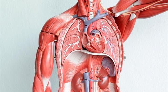 Wissenschaft Wissensfrage: Was ist das wärmste Organ im menschlichen Körper?