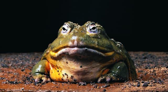 Natur Wissensfrage: Welcher Frosch gilt als der größte Frosch der Welt?