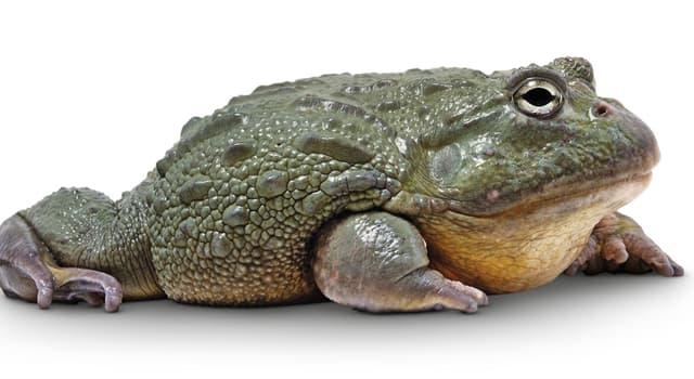 Natur Wissensfrage: Nach welcher biblischen Figur wurden der größte Frosch der Welt und ein Käfer benannt?