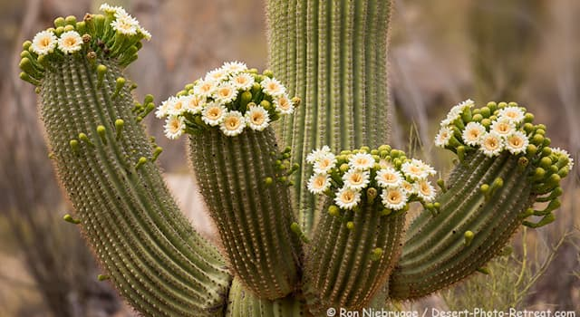 The Saguaro Cactus Blossom Is The Trivia Questions Quizzclub