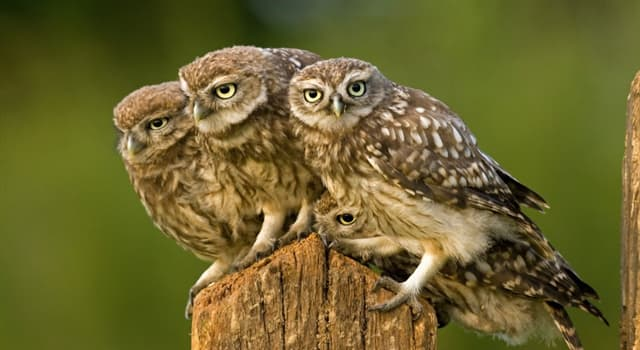 Nature Trivia Question: Besides the true owls, which is the other generally accepted family of owls?