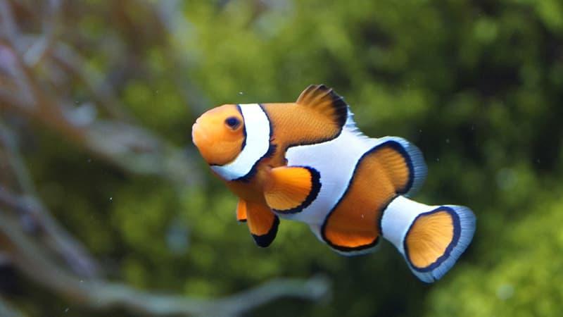 Naturaleza Pregunta Trivia: ¿Cuál es el nombre común de este pez que se muestra en la imagen?