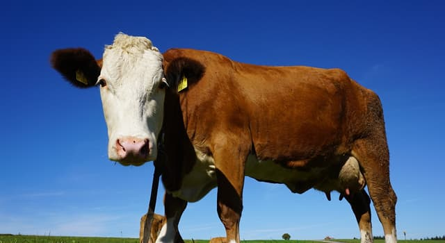 Nature Trivia Question: How many permanent teeth does an adult cow have?