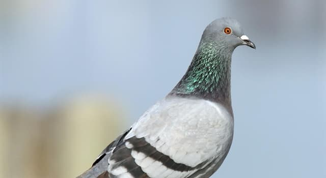 Society Trivia Question: In 1996, which country's army became the last in the world to disband its carrier pigeon service?