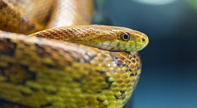 Nature Trivia Question: How many vertebrae does a snake have?