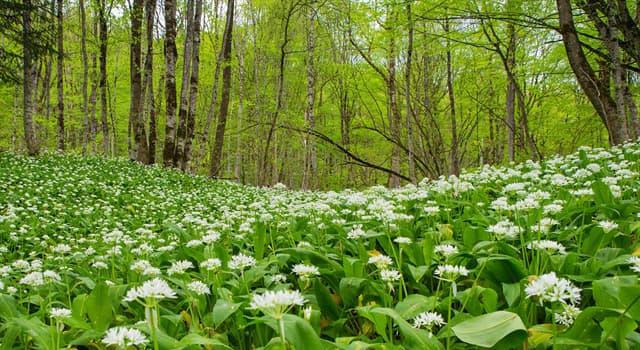 Nature Trivia Question: The plant Allium ursinum is known as what?