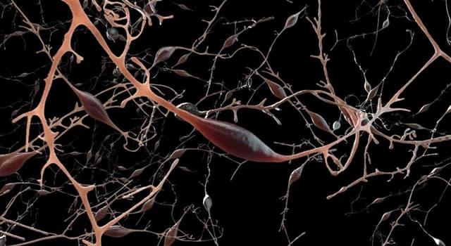 Wissenschaft Wissensfrage: Was ist der stärkste Nerv des Körpers?